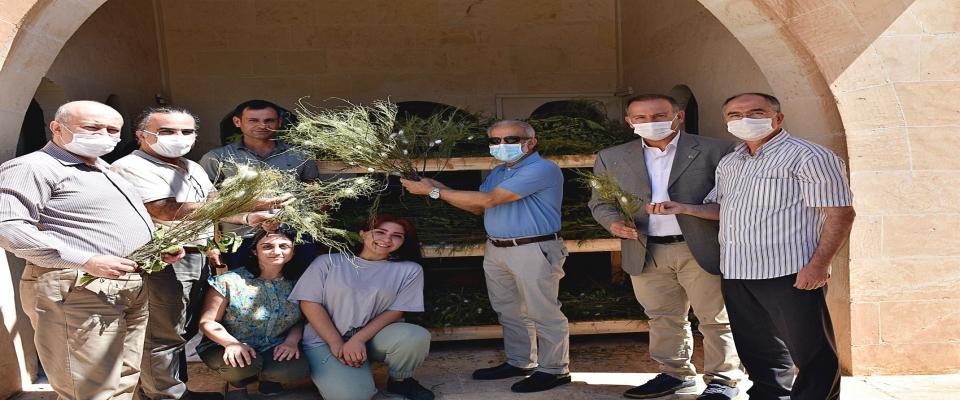 Harran Üniversitesi'nde İpek Böcekçiliğinde İlk Hasatlar Yapıldı
